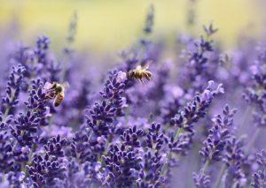 Lavendelblüten, Futter für Bienen