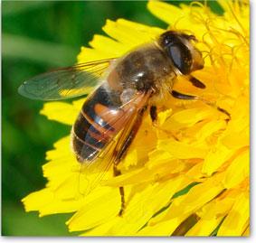 Biene sammelt Nektar, Propolis