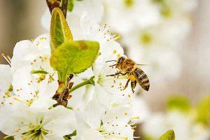 Biene auf weißer Blüte