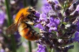 Lavendel wird von einer Biene bestäubt, Bienen
