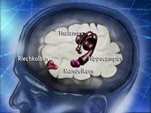 Riechkolben und Hippocampus