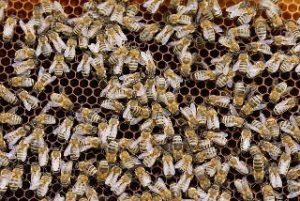 Bienen, Honigwabe