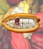 Das Innere der Kakaobohne