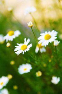 Kamillenblüten, aus ihnen wird das ätherische Kamillenöl destiliert.