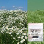 Die Kamille eine deutsche Heilpflanze