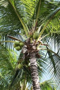 Kokospalme, Kokosöl