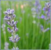 Lavendelblüte, aus den Blüten wird das Lavendelöl gewonnen
