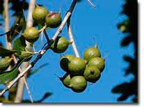 Aus den Macadamian Nüssen wird das wertvolle Macadamia-Nussöl gewonnen.