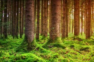 Waldboden mit Moos, Herkunft des Lebermossextrakts