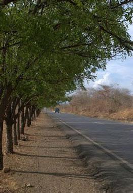Der Niembaum, ein robuster Straßenbaum