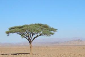 Niembaum in der Wüste