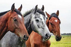 Lebermoosextrakt auch für Pferde