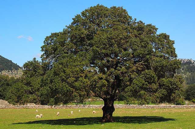 Ravintsare Baum