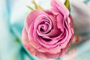 Wirkung der Düfte, ein Beispiel ist der Rosenduft