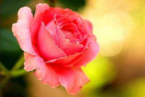 Kostbare Rose