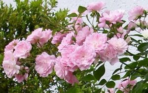 WALDLEBEN, Vitalkur für Pflanzen, auch für Rosen