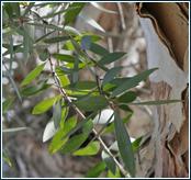 Blätter des Teebaums