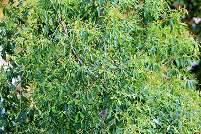 Teebaum, aus ihm wird das Teebaumöl destilliert