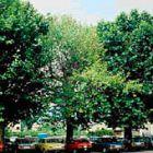 Die behandelten Bäume im Spätsommer