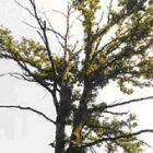 Der stark geschädigte Baum vor der Behandlung