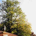 Der Baum nach einem viertel Jahr nach der Behandlung mit WALDLEBEN