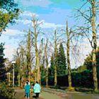Die geschädigten Bäume im Oktober 1986