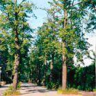 Bäume nach der Behandlung mit WALDLEBEN im Frühjahr 1987