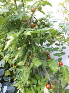 Tomaten am 22.Juli 2019