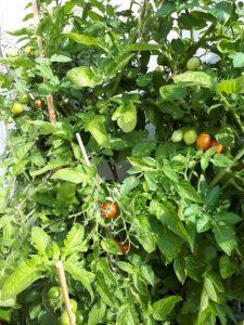Tomaten am 22.Juli im Hochbeet