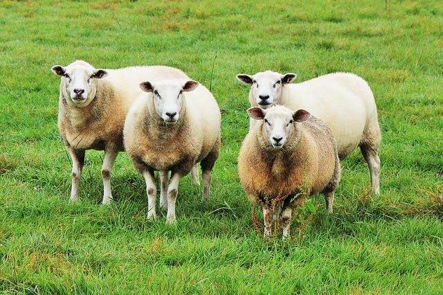 Schafe für den Bio Schafwoll-Dünger